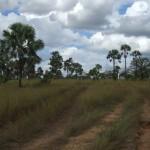 Savane à Bismarckia nobilis
