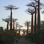 Allée des baobabas près de Morondava