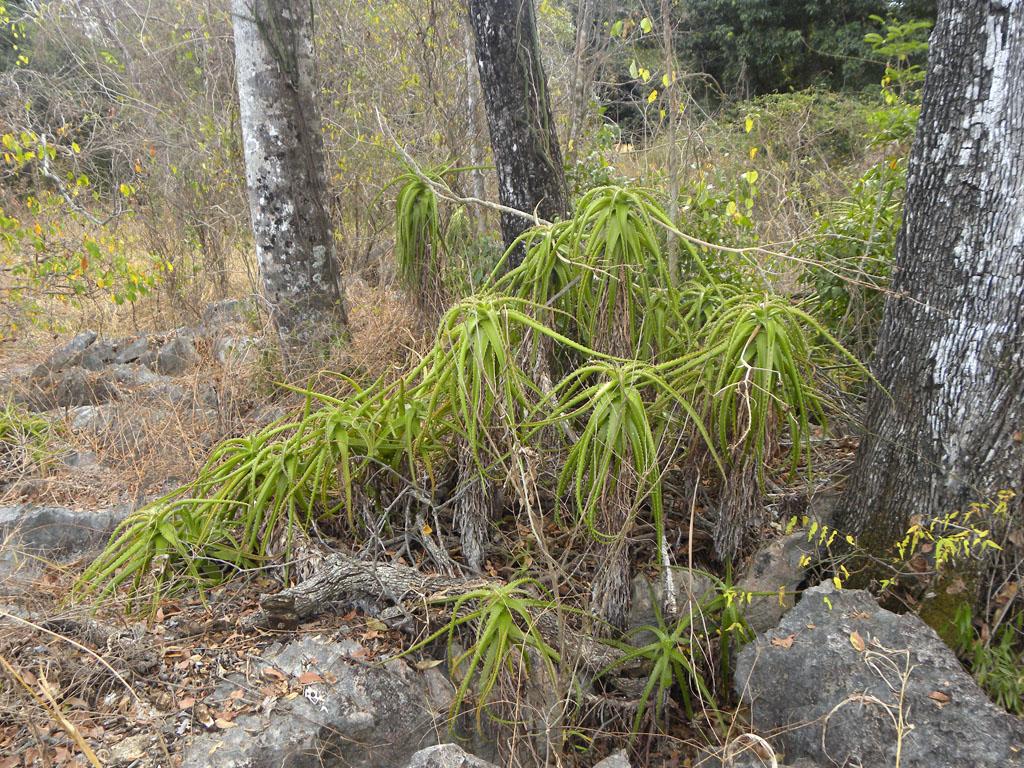 Aloe antonii
