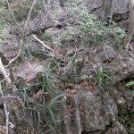 Aloe antsingyensis