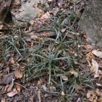Aloe beankaensis