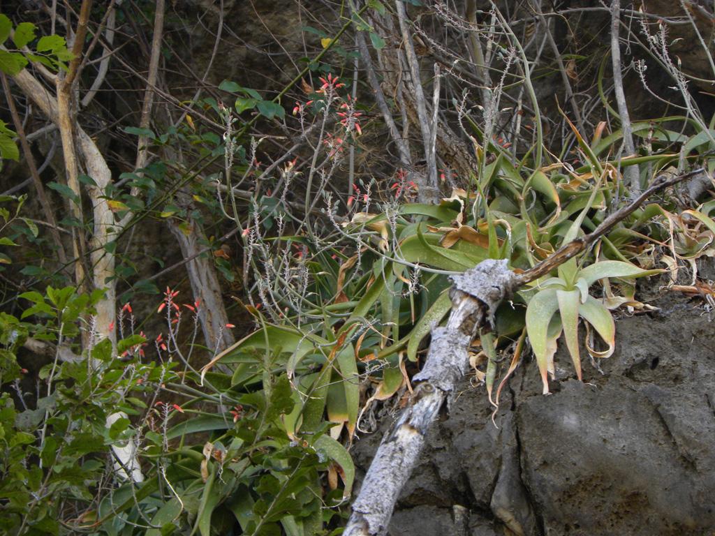 Aloe bosseri