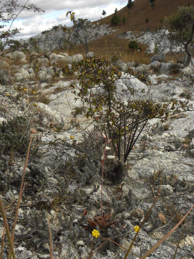 Aloe calcairophila
