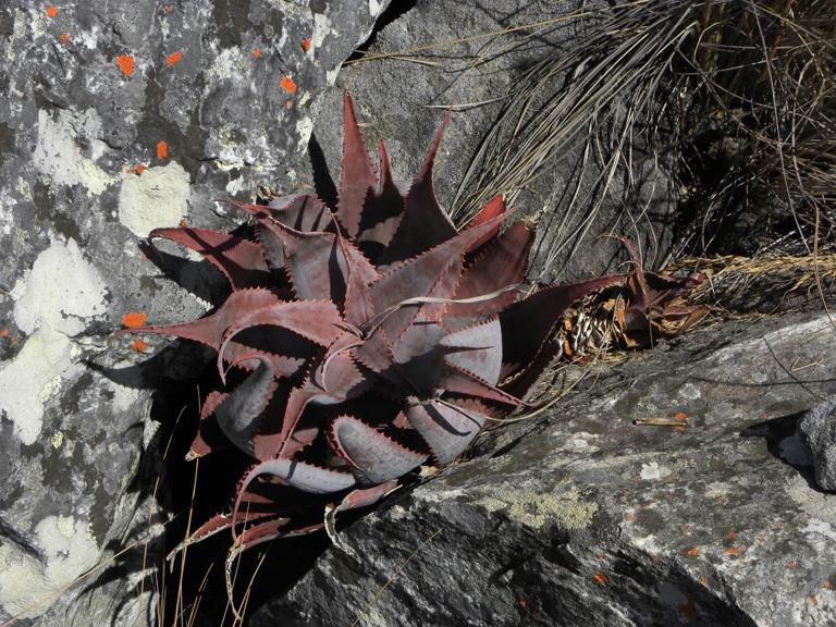 Aloe erythrophylla ssp. major