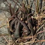 Aloe parvula x erythrophylla