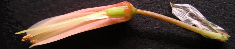 fleur décortiquée d'Aloe