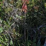 Aloe affine hoffmannii