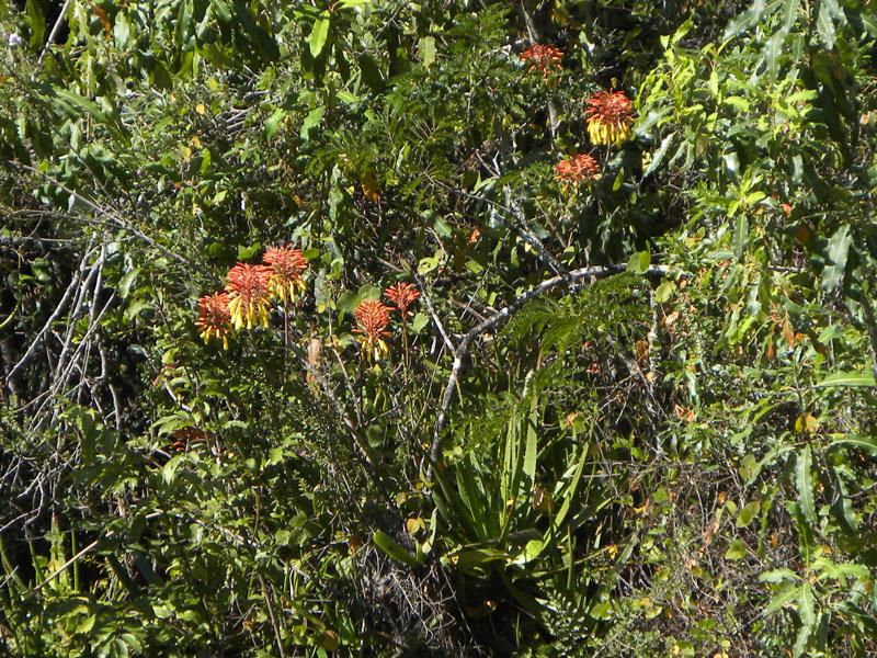 Aloe fievetii ssp. altimatsiatrae