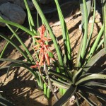 Aloe schilliana