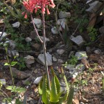 Aloe spinitriaggregata