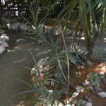 Aloe divaricata x antandroi