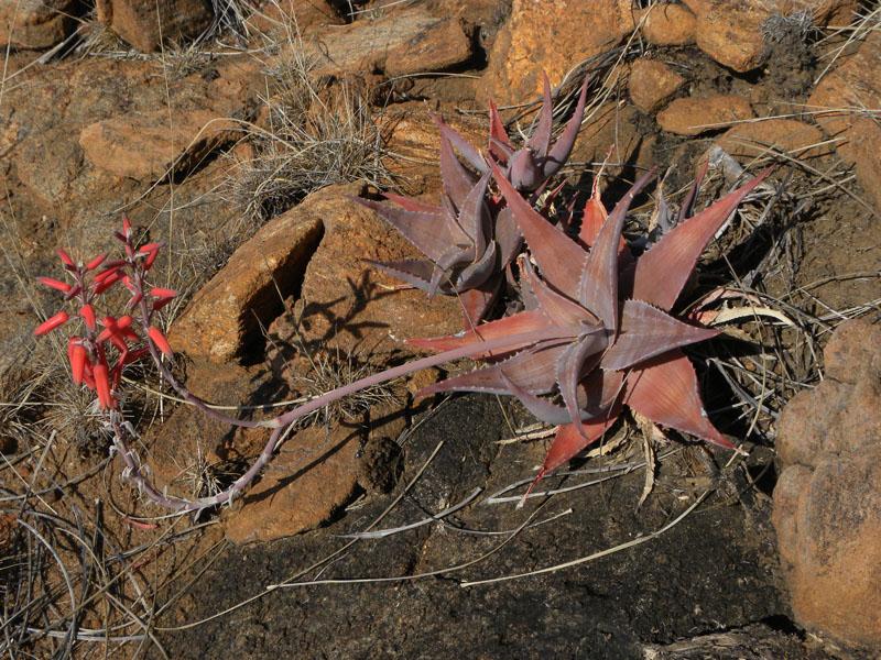 Aloe deltoideodonta var. brevifolia