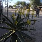 Aloe vaombe