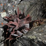 Aloe erythrophylla ssp. major