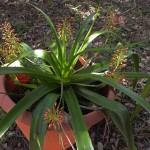 Aloe lomatophylloides