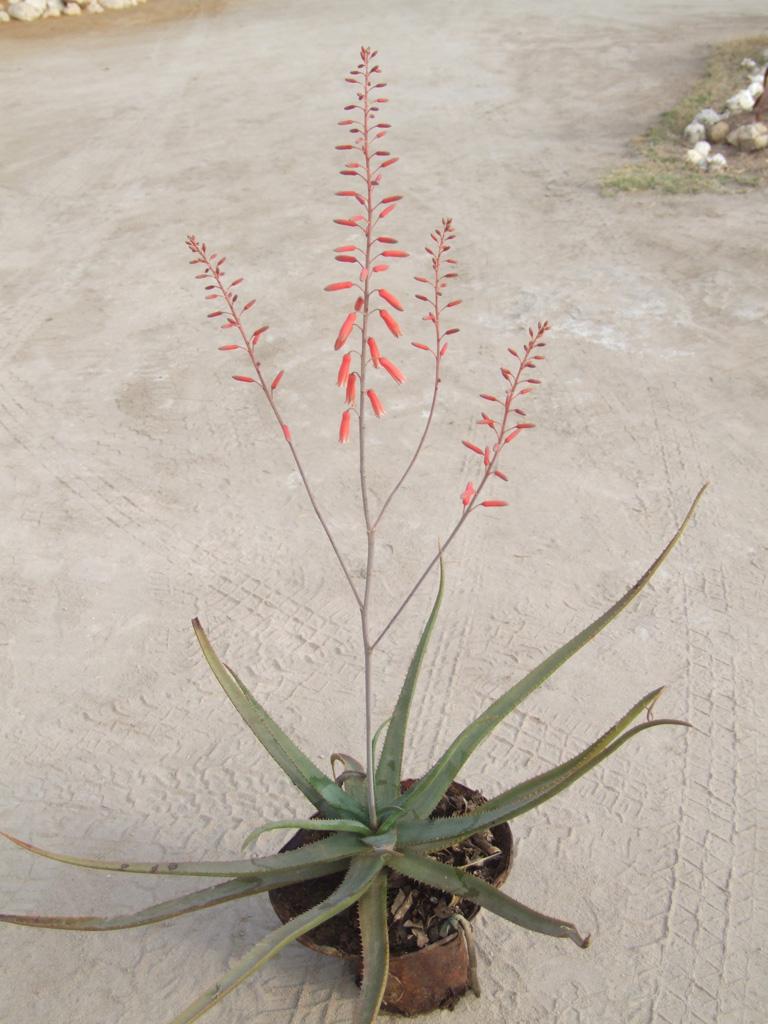 Aloe sp_nov
