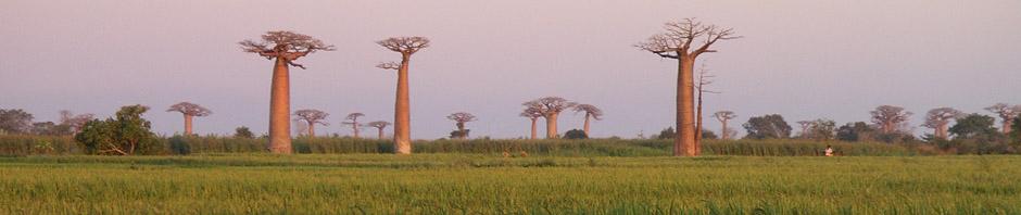 baobabs_bandeau